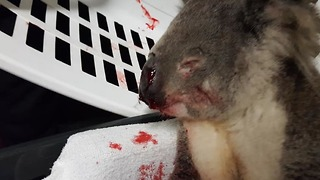 Wounded Koala on the Mend After Being Rescued From Road - Video