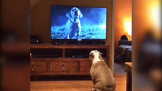 Bulldog Interacts With TV Every Time Budweiser Commercial Comes On