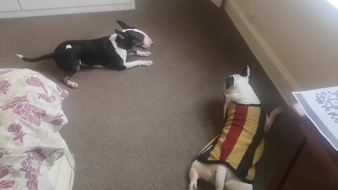 Bull terrier tries to initiate play time by spinning in circles