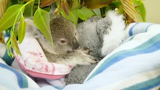Baby koala finds comfort in stuffed animal after mother's tragic death - Video