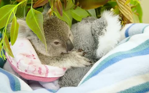 Baby koala finds comfort in stuffed animal after mother's tragic death