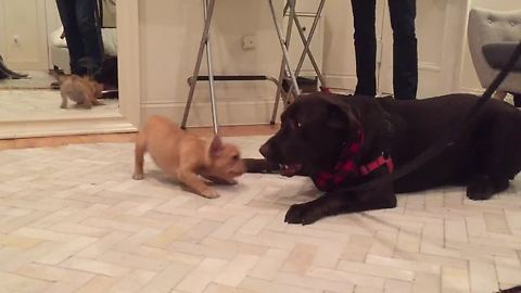 Adorable French Bulldog And Chocolate Labrador Become Instant Friends