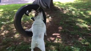 Adorable Bulldog Enjoys Swing Ride - Video