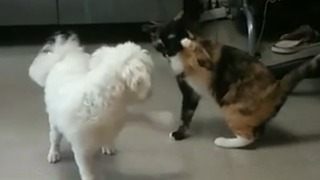 Dog desperate to play with uninterested cat - Video