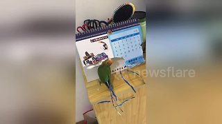 Parrot 'dresses up' by ripping up calendar to make fake tail feathers