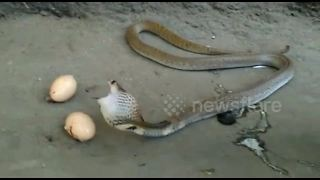Cobra regurgitates three eggs when cornered by snake catcher - Video