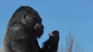 Fresh Snow Was The Perfect Refreshment For These Gorillas - Video