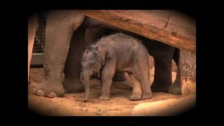 Elephant Birth Caught On Camera - Video