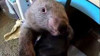 Carer Juggles Two Adorable Wombats in New South Wales, Australia - Video