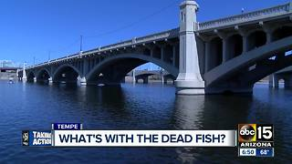 Dead fish still popping up at Tempe Town Lake - Video