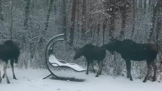 Moose Family Makes Merry in Alberta Backyard - Video