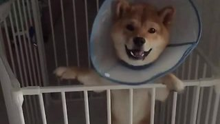 Slow motion shiba inu jumps for joy - Video