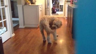 Funny Dog Chases Its Tail And Finally Catches It!