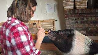 Pig loves being fed like a baby - Video