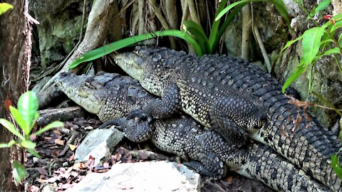 Crocodiles stack on top of each other as if cuddling by the river
