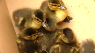 Ducklings drained but not hurt after ordeal - Video