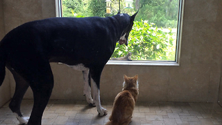 Great Dane and Cat are teased by Squirrel  - Video
