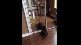 Puppy's first encounter with mirror reflection