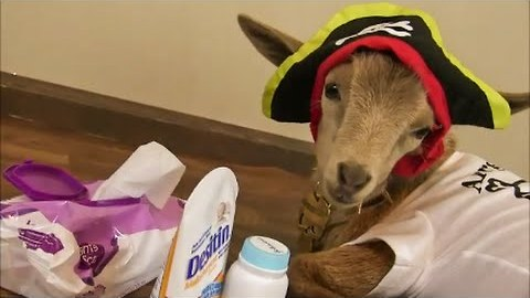 Cute Goat Wears Onesie and Pirate Hat