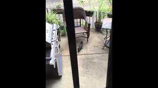 Mama Squirrel Rescues Her Fallen Baby - Video