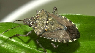 How to Prevent and Get Rid of Stink Bugs - Video