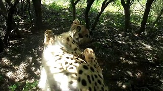 Rescued cheetah won't stop purring - Video