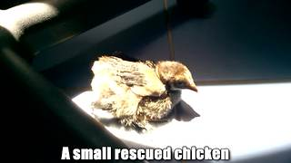 Rescued chicken now lives the good life as pet - Video