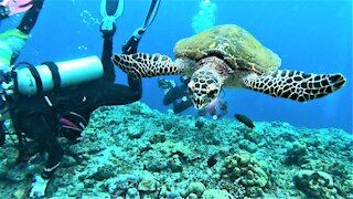 Nosy sea turtle demands to see what scuba divers are looking at in the coral