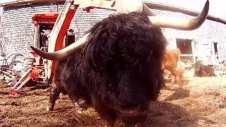 Clever bull uses backhoe to scratch his back - Video