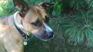 Little Pitbull Helps Owner With Yard Work - Video