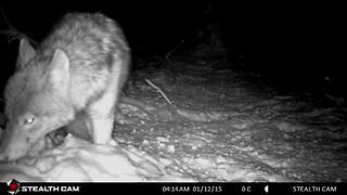 Large Wild Wolf Searching For Food In The Deep Snow
