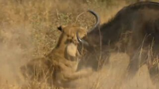 Lions attack on