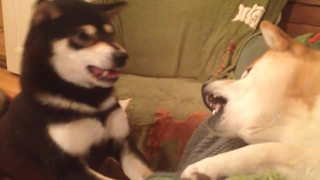 Persistent dog knows exactly how to get her way - Video