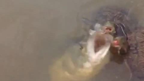 Massive bass snatches fish from pair of turtles