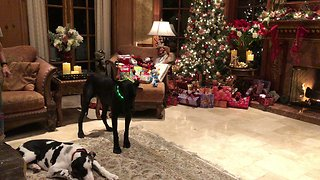 Great Danes celebrate first Christmas with feline friend
