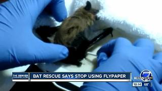 Colorado Bat Rescue saving bats stuck on flypaper - Video