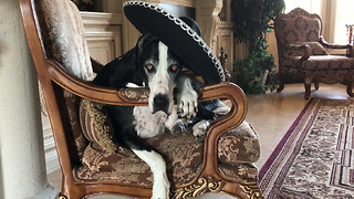 Funny Great Dane in Plies Rap Video Sombrero  - Video