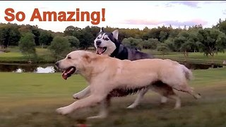 Siberian Husky and Golden Retriever Star in Greatest Romance of All Time - Video