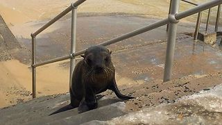 Seal Pup Spotted at Bondi - Video