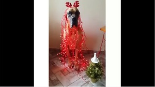 Great Dane hilariously gets into the Christmas spirit - Video
