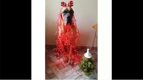 Great Dane hilariously gets into the Christmas spirit