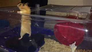 Daring Hamster Makes Great Escape - Video