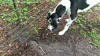 Great Dane's first encounter with wild armadillo