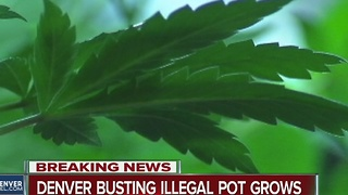 Denver Police target illegal marijuana grows, more than 30 addresses involved - Video