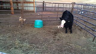 Puppy Plays Tug Of War With Cow - Video