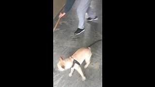 High-Energy Frenchie Can't Stop Chasing Broom  - Video