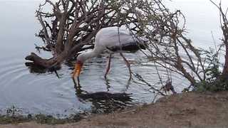 Stork Startled When Crocodile Emerges From Water - Video