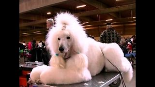 World's Largest Dog Show... Ever - Video