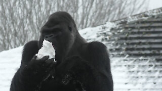 Zoo gorilla chows down on massive snowball during heavy snowfall