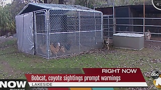 Bobcat, Coyote sightings prompt warnings - Video